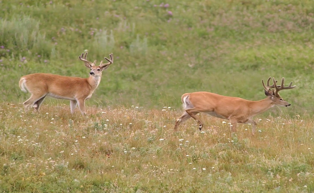 White-tail deer spotted in the field.