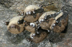 brown bats with white-nose syndrome, photo courtesy of science daily