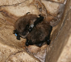 photo: brown bats