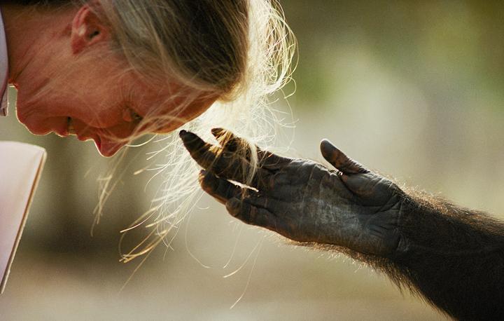 jane-goodall chimp hand @720