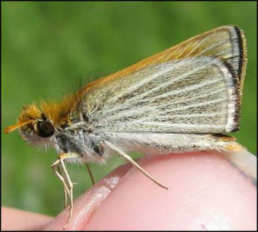 Poweshief Skipperling