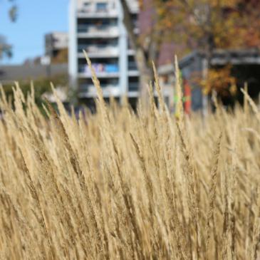 Tall Prairie Grass, ©UWinnipeg