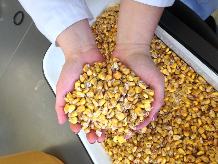 Corn - photo supplied