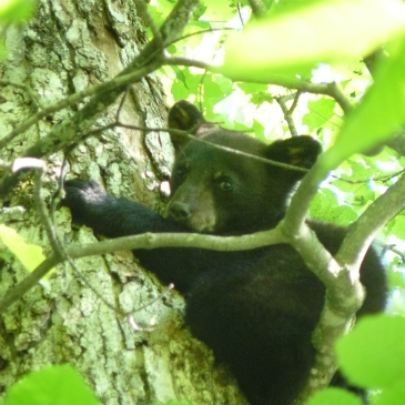 black bear, photo supplied