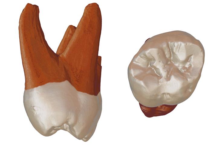 Neanderthal Molar