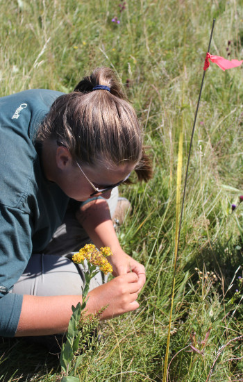 Colleen Robertson working on our vegetation inventory of grassland plants along a survey transect.